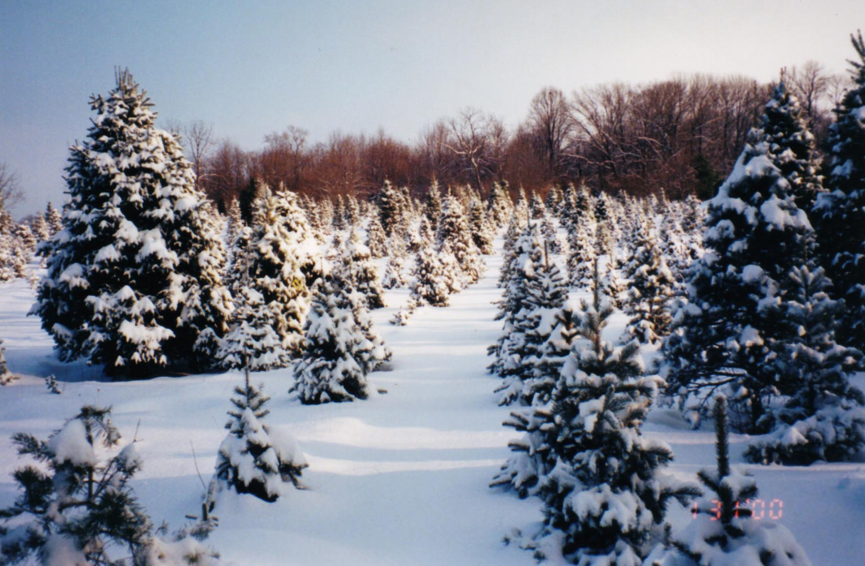 A snowy field of evegreens at Good Spirits Tree Farm